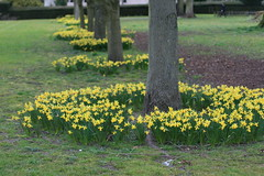 Coombe Abbey Daffodils (12/52) (Stu.G) Tags: abbey yellow 50mm march coombe daffodils warwickshire 19th 19thmarch yellowdaffodils 2016 canonef50mmf14usm coombeabbey ef50mm ef50mm14 project52 canoneos40d 190316 march2016 project522016 19032016 19mar16 19thmarch2016