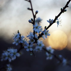 whitethorn and sunset (SS) Tags: flowers sunset italy countryside spring pentax bokeh lazio k5 whitethorn smcpentaxm50mmf17 ss