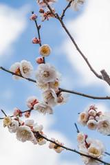 Higashiyama20160221f (FJK80046) Tags: flower plum  ume  aichi   higashiyama   higashiyamabotanicalgarden