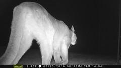 PIC0011; 2/23/2016 @8:33pm; Mountain Lion; motion-sensor camera (BobcatWeather) Tags: california mammal feline puma cougar santacruzmountains mountainlion pumaconcolor sanmateocounty motionsensor felidae crittercam bobcatweather georgiastigall fwnp privatewildlands
