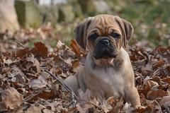 JayJay Portrait (Daryl Dares) Tags: pets puppy pug hund pugs hunde mops