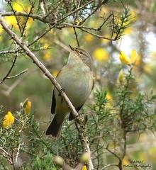 Chiffchaff  - (Explored 2nd April, 16 #199) (Kapturedbythelenz) Tags: bird nature lumix flickr wildlife explore larne coantrim chiffchaff irishwildlife inverriver nationalgeographicwildlife fz330 panasoniclumixfz330