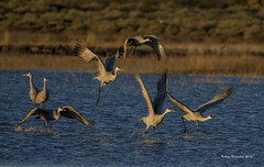 Morning Take Off (Happy Photographer) Tags: water sunrise wildlife flight cranes national sandhill bosquedelapache refuge amyhudechek