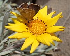 Gazania rigens, Grtner 1791 (Asterales: Asterace: Cichorioide: Arctotide: Gorteriin); Lampides bticus (Linnus 1767)  (Lepidoptera: Lycnid: Polyommatin: Polyommatini) (ciaociaoxxx) Tags: fuerteventura lepidoptera gazania plantae asteraceae animalia arthropoda insecta lycaenidae hexapoda lampidesboeticus polyommatinae gazaniarigens polyommatini lampides cichorioideae arctotideae gorteriinae
