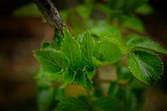 """"" (vieubab) Tags: macro nature plante bokeh lumire couleurs branches vert arbres extrieur fort bois calme verdure feuille grosplan bourgeon feuillage branchage luminosit"