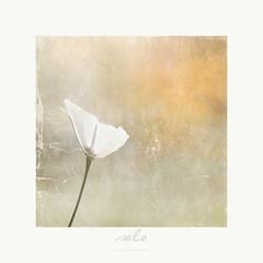 solo (patrice ouellet - OFF) Tags: flower art fleur solo patricephotographiste