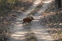 Indian Muntjac - Barking deer (m3dha) Tags: india animals deer safari jungle junglebook muntjac madhyapradesh kanha barkingdeer kakar indianmuntjac