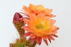 Image1191RR (staffordlaura1955) Tags: cactus orange nature outdoors bloom blooms blooming cereus