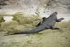 Coccodrillo del Nilo (Mauro_Amoroso) Tags: wild nature animal animals zoo nikon adventures nationalgeographic natgeo nital lecornelle parcofaunistico nikonitalia parcofaunisticolecornelle