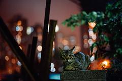 untitle2 (Tridentz | ) Tags: light animal night cat hongkong eyes bokeh sony voigtlander meow neko alpha f18 a7 straycat vm streetcat 75mm