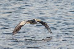 Grey Heron (phat5toe) Tags: nature birds nikon wildlife flight feathers avian wetland wigan flashes greyheron wader greenheart lancashirewildlifetrust d7000 sigma150500