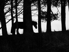 forest pony (Lamerie) Tags: wood blackandwhite silhouette forest pony dartmoor trres