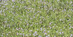 Purple Haze (Joe Josephs: 2,650,890 views - thank you) Tags: california flowers plants landscape wildflowers westcoast fineartphotography travelphotography californialandscape landscapephotography outdoorphotography fineartprints fiscaliniranchpreserve joejosephsphotography