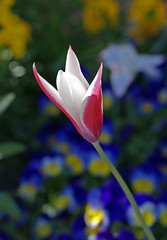 Tulpe, Damen- / lady tulip (tulipa clusiana) (HEN-Magonza) Tags: flowers nature germany deutschland flora natur blumen tulip mainz springtime tulipa frhling tulpe rheinlandpfalz tulipaclusiana rhinelandpalatinate ladytulip botanischergartenmainz mainzbotanicalgardens damentulpe