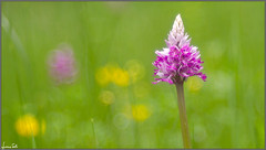 in bloom (Luciano Silei - sky7) Tags: orchid macro bokeh friuli orchidea wildorchid osoppo trioplan helmknabenkraut orchismilitaris meyergorlitz canon7d trioplan100mmf28 lucianosilei
