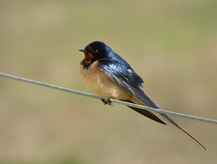 Swallow (Peanut1371) Tags: blue red white bird wire swallow nationalgeographicwildlife