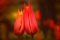 Tulpe (uschmidt2283) Tags: macro wolken blumen bume tulpen blten
