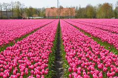 Pink tulip field (Ben den Hartog) Tags: holland netherlands tulips tulip fields noordoostpolder flevoland tulpen tulp bollenstreek tulpenvelden