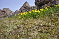 Coronella austriaca (azeam) Tags: snake smooth land