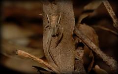 Sidymella (dustaway) Tags: arthropoda arachnida araneae araneomorphae thomisidae stephanopinae sidymella crabspider tamborinemountain sequeensland queensland australia australianspiders nature spinne natur araignee