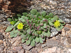 Atacama_1386 Plant, Sierra Laguna Blanca (Roger Nix's Travel Collection) Tags: argentina atacama andes