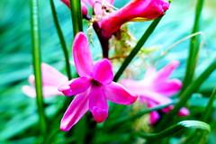 hyacinths (nelescholten) Tags: pink flower macro green nature grass closeup contrast garden spring bokeh hyacinthus