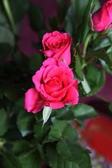 DSC_0765 Roses (PeaTJay) Tags: flowers roses plants macro nature rose gardens fauna reading flora indoors micro closeups berkshire rosebuds lowerearley nikond750