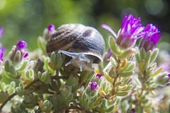 Non Guardarmi Cosi (Costigliola Michele) Tags: macro vintage natura michele fiori lumaca helios 442 582 costigliola