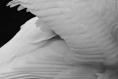 Feathers (la1cna) Tags: blackandwhite lake bird texture monochrome norway norge swan edited telemark bnw skien samsunggalaxycamera