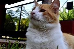 073 (guadx) Tags: naturaleza cats pets green nature animal nikon gatos felinos mascotas d3200