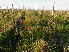 """Coquelicots dans les vignes (Daniel Biays """" VOIR MON PROFIL """") Tags: vignes vignoble coquelicot saintestphe gironde mdoc"""