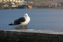 27th April 2016 (lucyphotography) Tags: bridge sea looking dundee seagull gull tay
