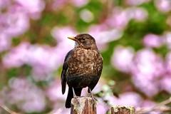 Blossoming #blackbird (jule_s1) Tags: blackbird