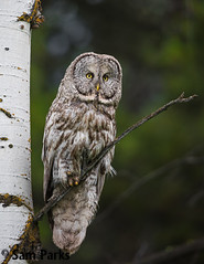 GG63 (Sam Parks Photography) Tags: trees wild usa bird nature animal forest rockies wings woods nps wildlife unitedstatesofamerica ghost feathers meadow aves raptor northamerica rockymountains wyoming greatgrayowl phantom predator carnivorous naturalworld jacksonhole avian tetonrange parkservice strigiformes grandtetonnationalpark predatory aspentree strixnebulosa gye mountainous carnivora strigidae gtnp verticalorientation greateryellowstoneecosystem aspenstand carniore