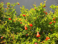 Flowering quince (melastmohican) Tags: california park red plant flower tree leaves garden season us spring bush flora branch unitedstates blossom name chinese decoration sanjose petal pi twig flowering medicine zhou variety shrub deciduous quince thorny chaenomeles rosaceae speciosa mugua semievergreen