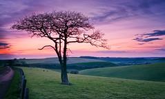 The Resolute Oak [Explored] (Langstone Joe) Tags: sunset oak hampshire hills valley meonvalley lonetree defiant oldwinchesterhill resolute quercusrobur