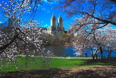 I want to do with you what spring does with the cherry trees. (larrycloss) Tags: nyc ny newyork square nikon centralpark squareformat cherryblossoms sanremo thelake centralparknyc nikond40x d40x iphoneography instagramapp uploaded:by=instagram