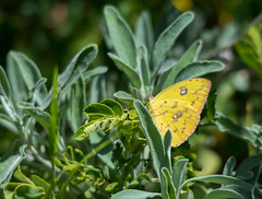 Cloudless Sulphur Butterfly (Susan Colosimo) Tags: yellow butterfly sulphur phoebissennae sulphurbutterfly cloudlesssulphurbutterfly