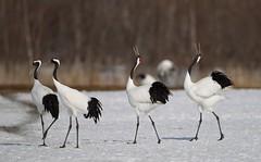 Japan. (richard.mcmanus.) Tags: birds japan hokkaido wildlife cranes gettyimages tsurui redcrownedcranes