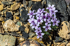 Purple cluster (Meteorseeker) Tags: flowers mountains flower nature canon outside desert outdoor wildlife nevada canyon catcus deserttortise tortise mountainpeak canon60d canonfanphotography