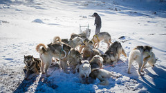 Break time for sled dogs (Lil [Kristen Elsby]) Tags: topf50 arctic greenland editorial topv4444 dogsledding arcticcircle sleddogs dogsled travelphotography ilulissat jakobshavn westgreenland vestgronland canon5dmarkii greenlandicdogs