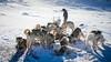 Break time for sled dogs (Lil [Kristen Elsby]) Tags: arctic canon5dmarkii greenland ilulissat travelphotography arcticcircle westgreenland vestgronland jakobshavn dogsledding sleddogs greenlandicdogs dogsled editorial topf50 topv5555