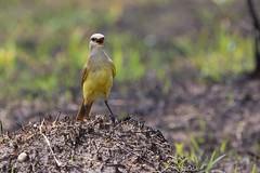 Picabuey (LeoNardo 316) Tags: bird ave pajaro entrerios vogel federacion