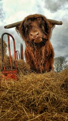 The Highland Beast (Mark.L.Sutherland) Tags: cameraphone hairy orange animal scotland countryside highlands angle eating north perspective cellphone straw horns samsung bull ring lookingup smartphone beast nosering colourful hay sutherland farmanimal highlandcow phoneography scottishcountryside nomnom androidography galaxys5