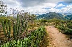 Hierve el Agua - Cactus