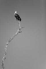 Composicin con guila pescadora, Chobe NP, Botswana (Daniel Salgado Lemos) Tags: seleccionar