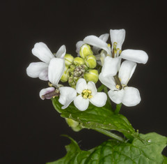 Tiny White Wildflowers. (tresed47) Tags: flowers home us pennsylvania content places folder takenby chestercounty 2016 peterscamera petersphotos canon7d 201604apr 20160426chestercountyflowers