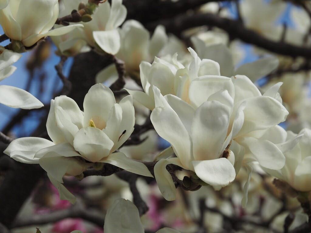 the world 39 s newest photos of magnolien flickr hive mind. Black Bedroom Furniture Sets. Home Design Ideas