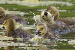 Canada Goslings 4-30-2016-1 (Scott Alan McClurg) Tags: life wild baby canada bird nature water animal swimming swim geese spring woods wildlife goose neighborhood wetlands suburbs gosling gliding waterfowl canadagoose canadageese waterbirds naturephotography glide branta anserinae anserini bcanadensis babygosling
