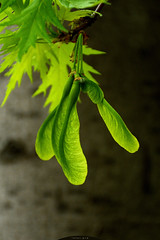 flying seeds (intui.pro) Tags: park tree green nature leaves forest maple sprout sunflowerseeds flyingseeds